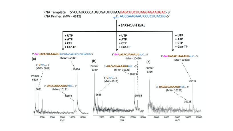 Figure of the SARS-Cov-2 Polymerase Reaction